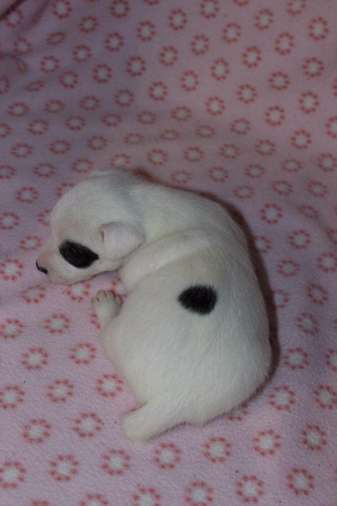 FEMELLE 2 - Jack Russell Terrier