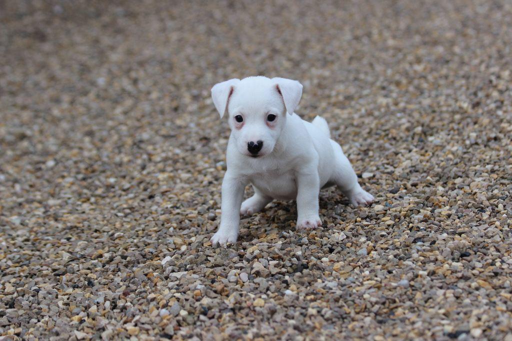FEMELLE 4 - Jack Russell Terrier