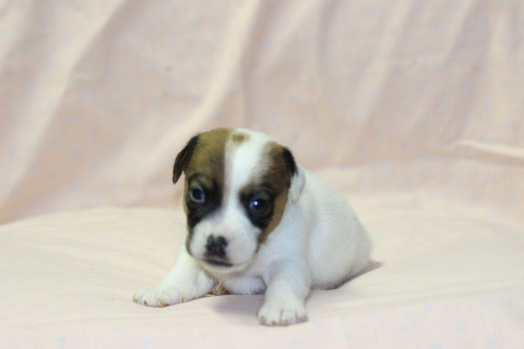 MALE 1 - Jack Russell Terrier