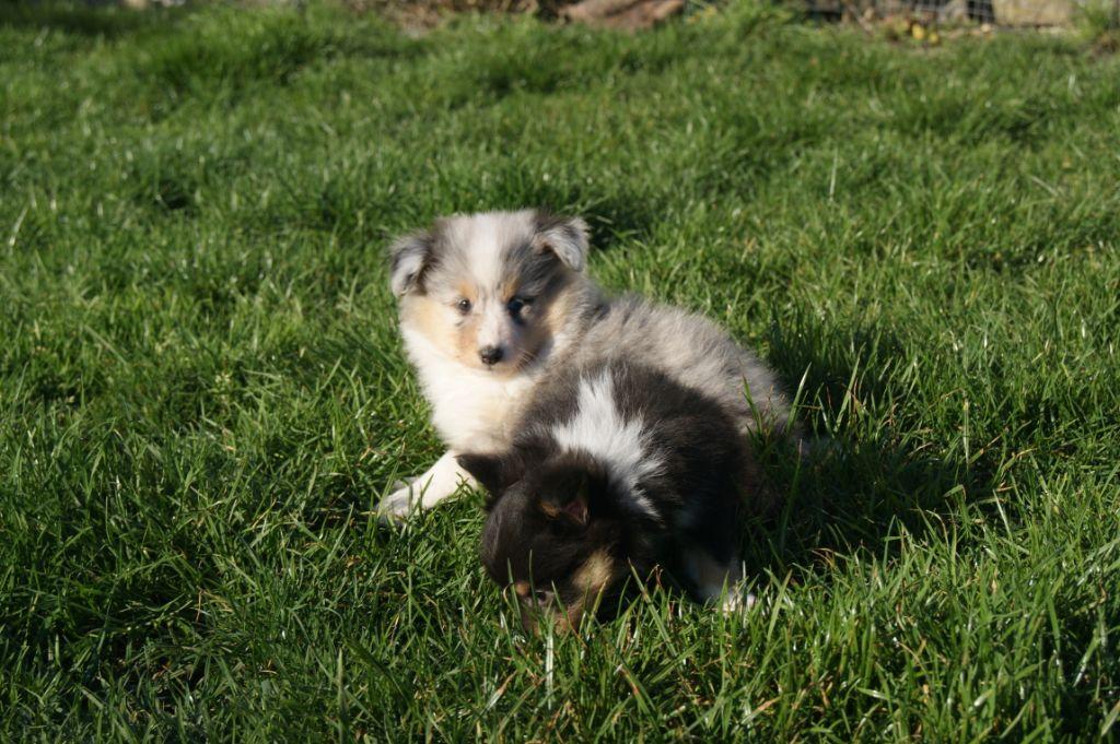 Des Plaines de Gaïa - Chiot disponible  - Shetland Sheepdog