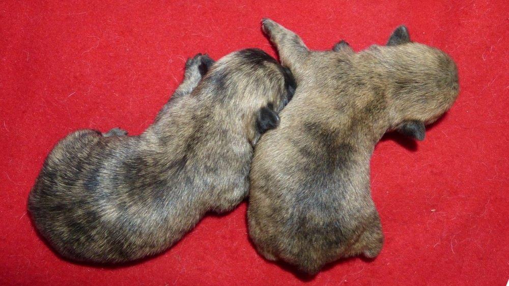 de L'Etang des Chalands - Chiot disponible  - Cairn Terrier