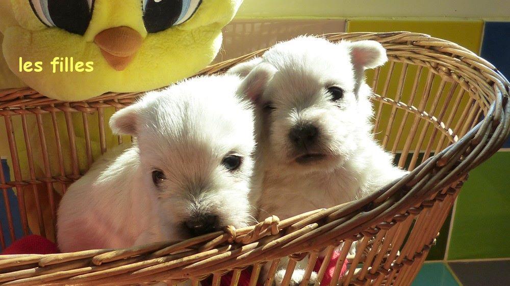 de L'Etang des Chalands - Chiot disponible  - West Highland White Terrier