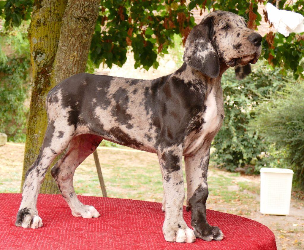 Des petites verniéres - Chiot disponible  - Dogue allemand