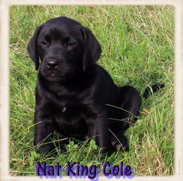 de la Pommeraie - NAT KING COLE très beau mâle noir..