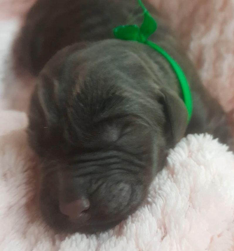 de la Pommeraie - Chiot disponible  - Labrador Retriever