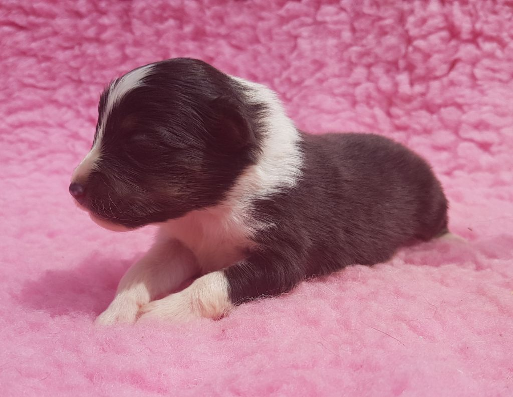 des Famonadyns - Chiot disponible  - Shetland Sheepdog