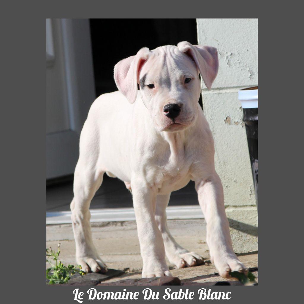 du Domaine du Sable Blanc - Chiot disponible  - Dogo Argentino