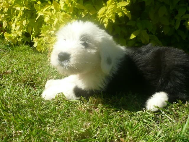 of Mary People - Chiot disponible  - Bobtail