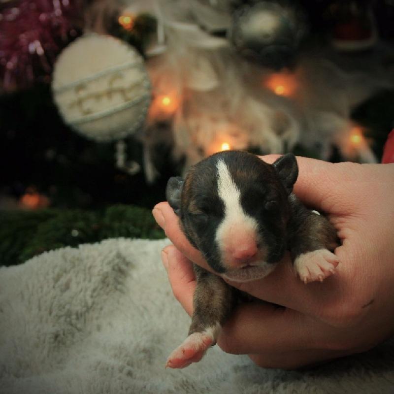 de la Galaxie Ezaï - Chiot disponible  - Bull Terrier