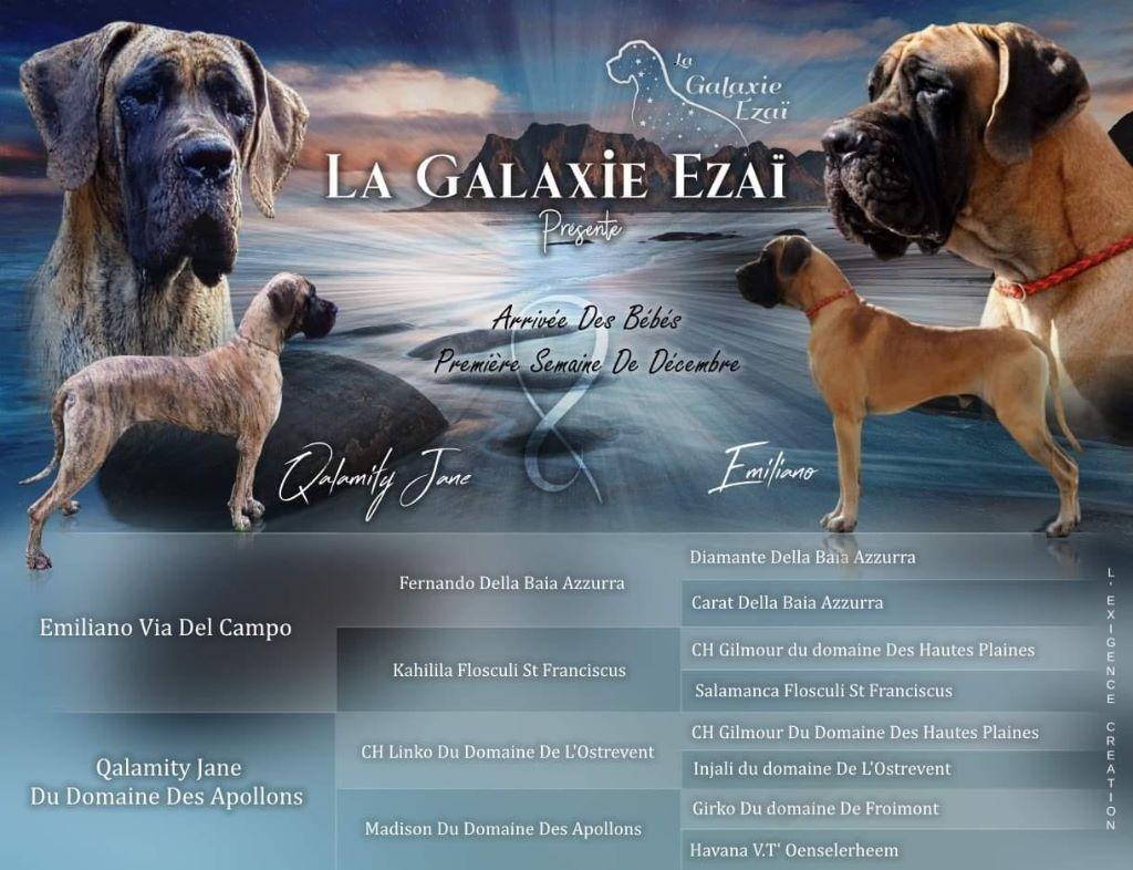 de la Galaxie Ezaï - Chiot disponible  - Dogue allemand