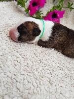 de la Galaxie Ezaï - Bull Terrier - Portée née le 04/07/2018