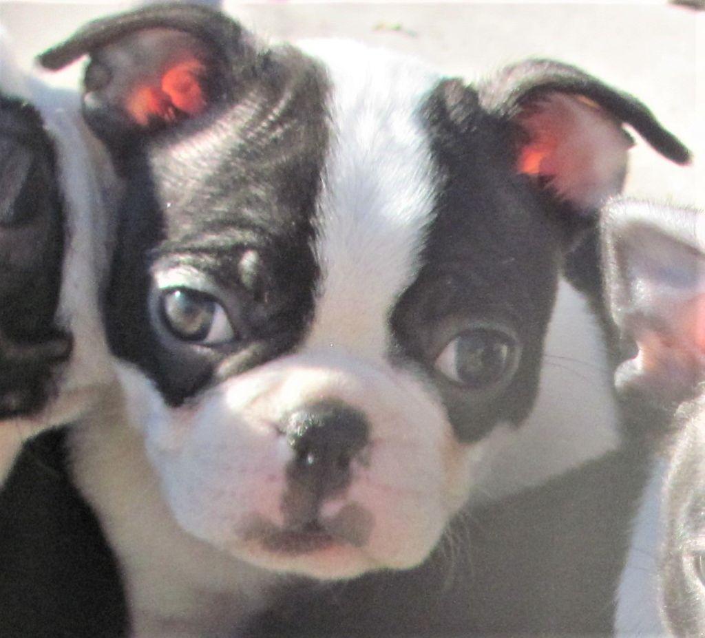 des lavandes de la Sainte Victoire - Chiot disponible  - Boston Terrier