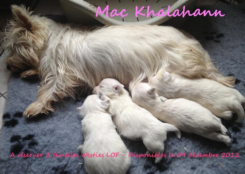 Chiot - Elevage Mac Khalahann - eleveur de chiens West