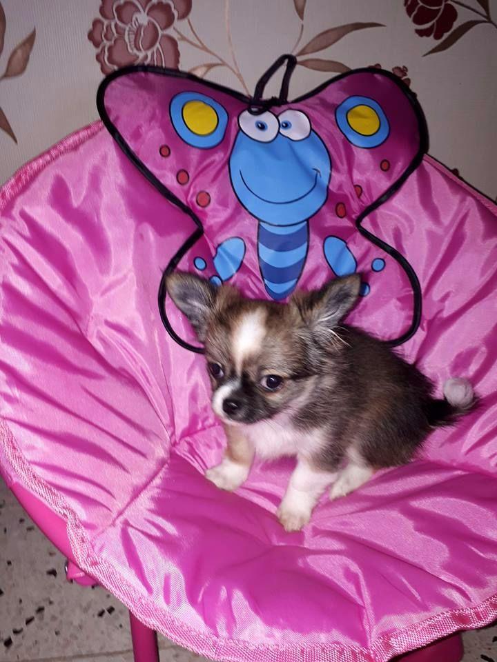 du Domaine de la Ghissignardiére - Chiot disponible  - Chihuahua