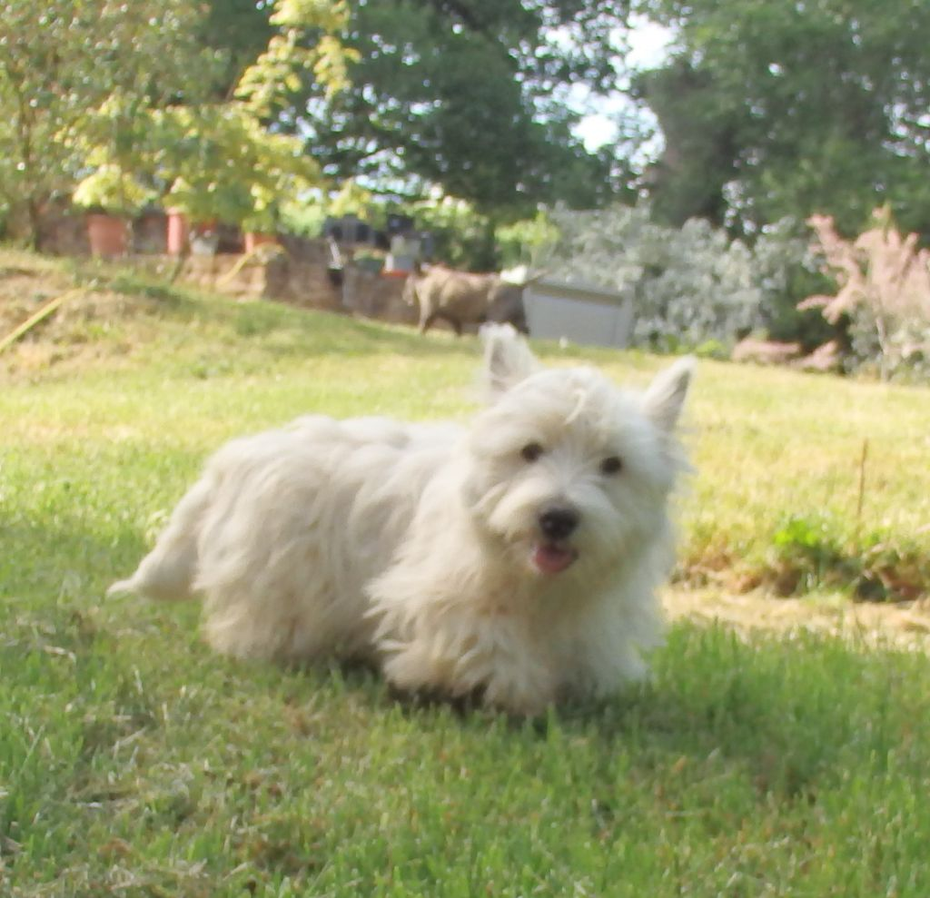 De la paix retrouvee - Chiot disponible  - West Highland White Terrier