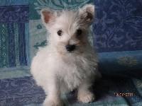 De la paix retrouvee - West Highland White Terrier - Portée née le 05/06/2018