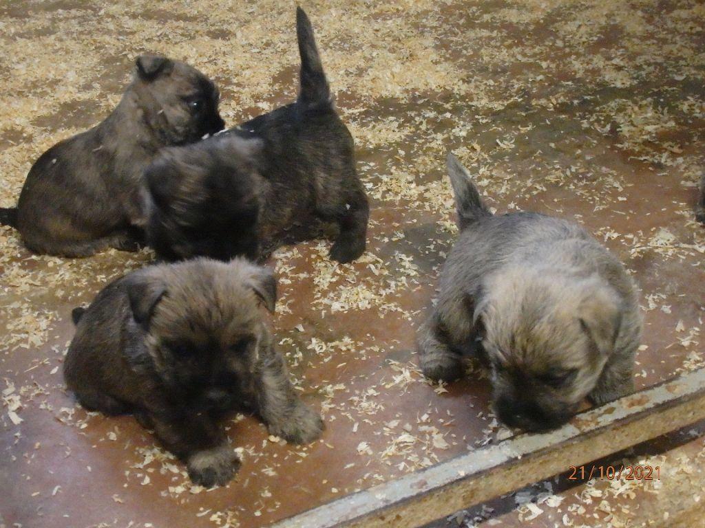 De la paix retrouvee - Chiot disponible  - Cairn Terrier