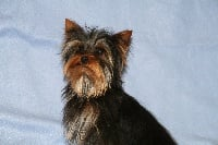 Chiots Yorkshire Terrier disponibles sur Atara.com