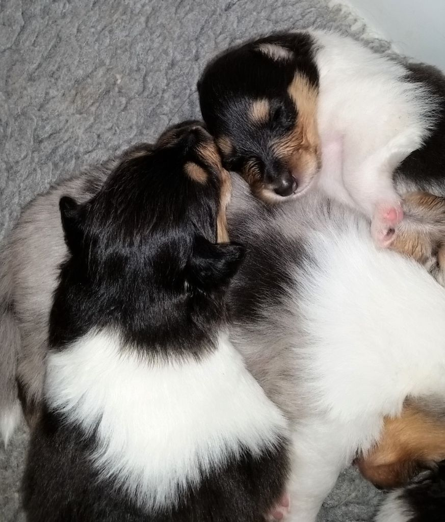 of Everblue - Chiot disponible  - Colley à poil long
