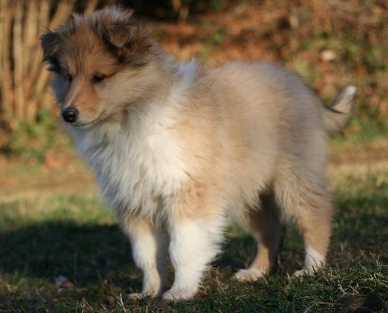 Chiot - EVERBLUE COLLIES - Eleveur de chiens Colley à poil