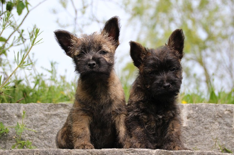 of Wings of an Angel - Cairn Terrier - Portée née le 26/02/2016