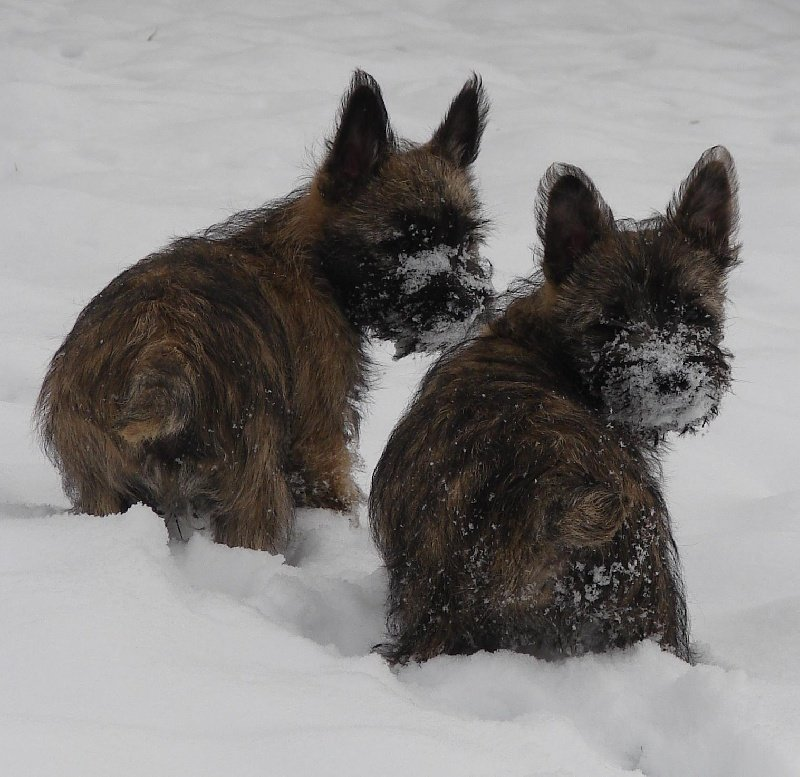 chiot Cairn Terrier of Wings of an Angel