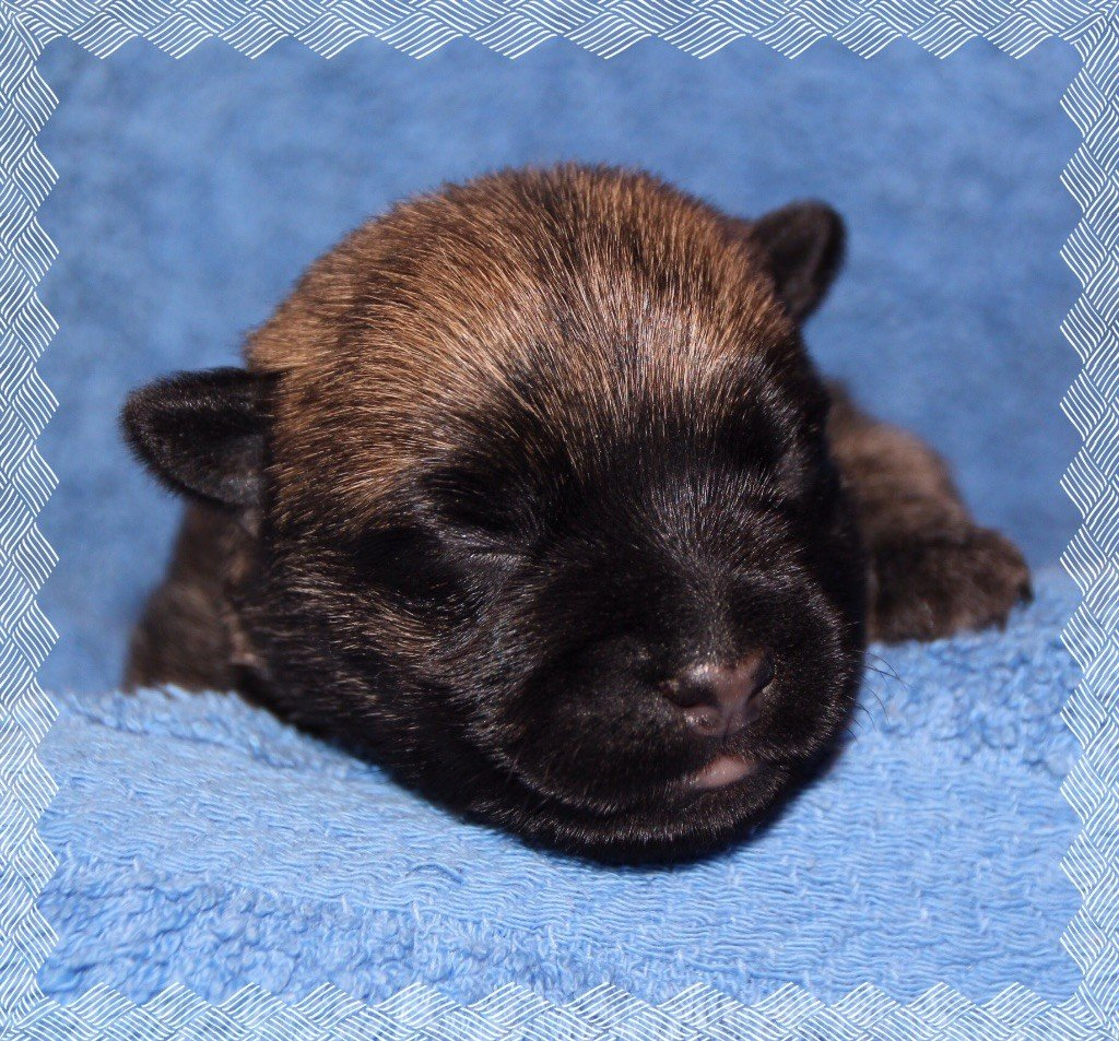 of Wings of an Angel - Chiot disponible  - Cairn Terrier