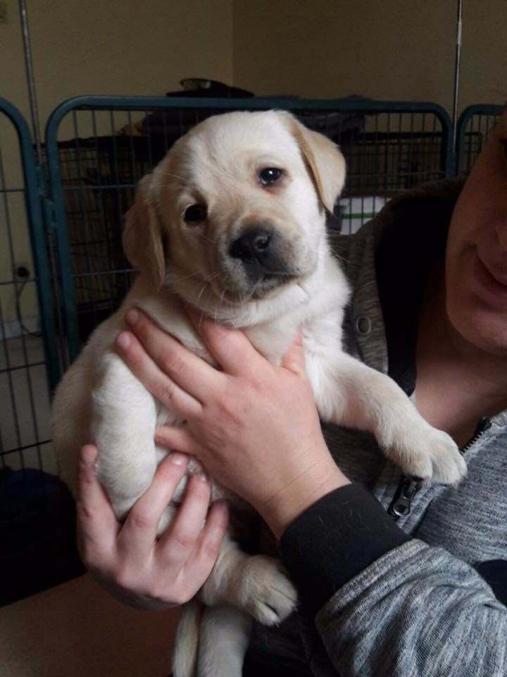 chiot Labrador Retriever of Wings of an Angel