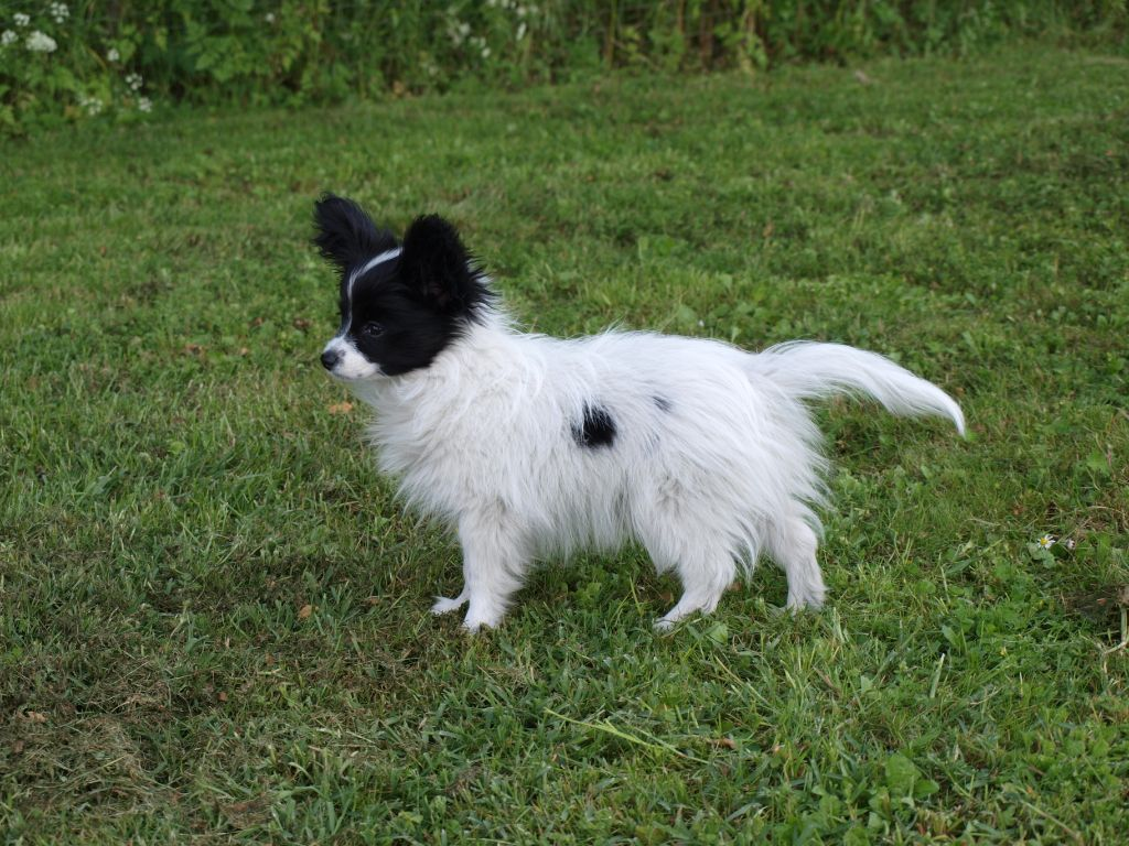 PERRY'S - Epagneul nain Continental (Papillon)