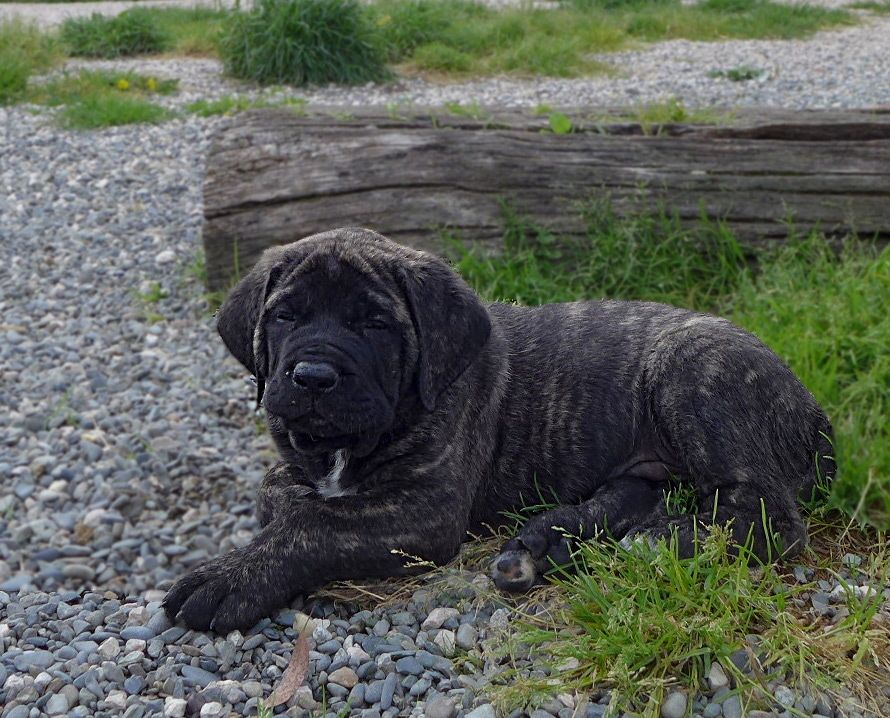 de l'Escane Crabe - Chiot disponible  - Mastiff