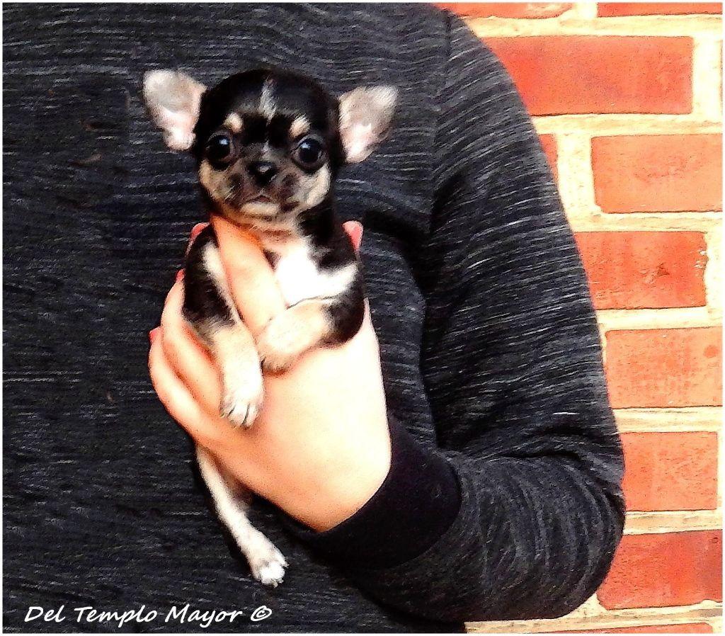 del Templo Mayor - Chiot disponible  - Chihuahua