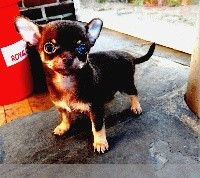 Chihuahua - del Templo Mayor