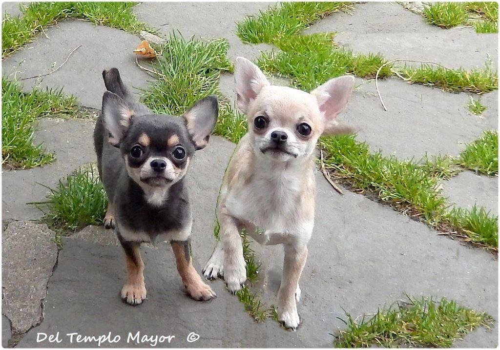 chiot Chihuahua del Templo Mayor