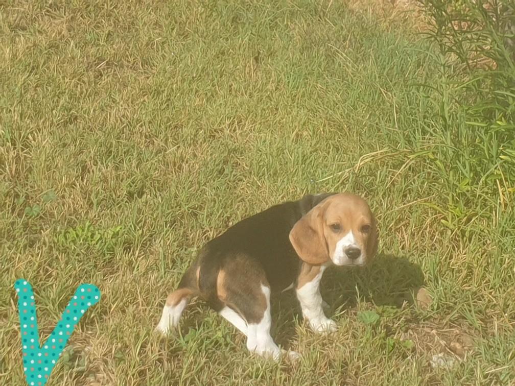 du bois de Mirapied - Chiot disponible  - Beagle