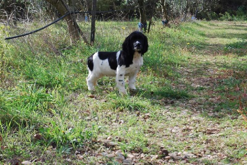 du bois de Mirapied - Chiot disponible  - English Springer Spaniel