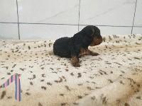 du bois de Mirapied - Yorkshire Terrier - Portée née le 22/06/2021