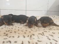 du bois de Mirapied - Yorkshire Terrier - Portée née le 05/04/2021