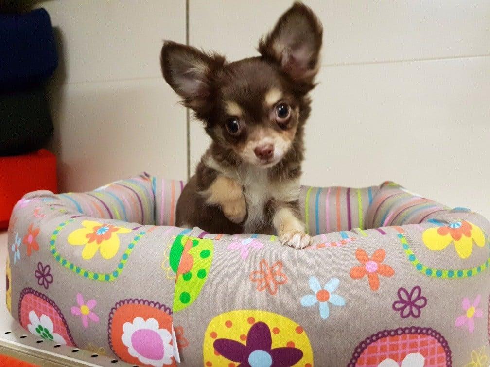 du bois de Mirapied - Chiot disponible  - Chihuahua
