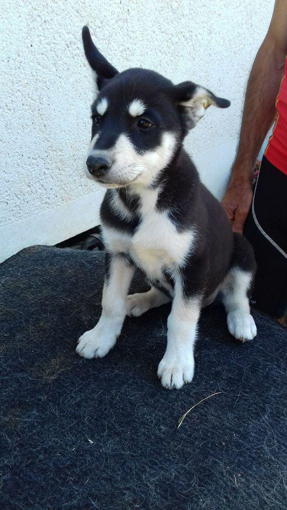 des rêves de l'hiver blanc - Chiot disponible  - Siberian Husky