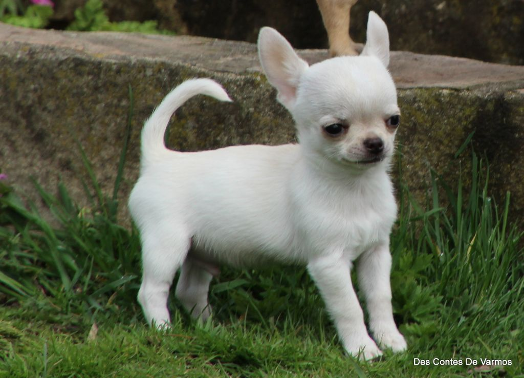 ORPHEE  DES CONTES DE VARMOS - Chihuahua