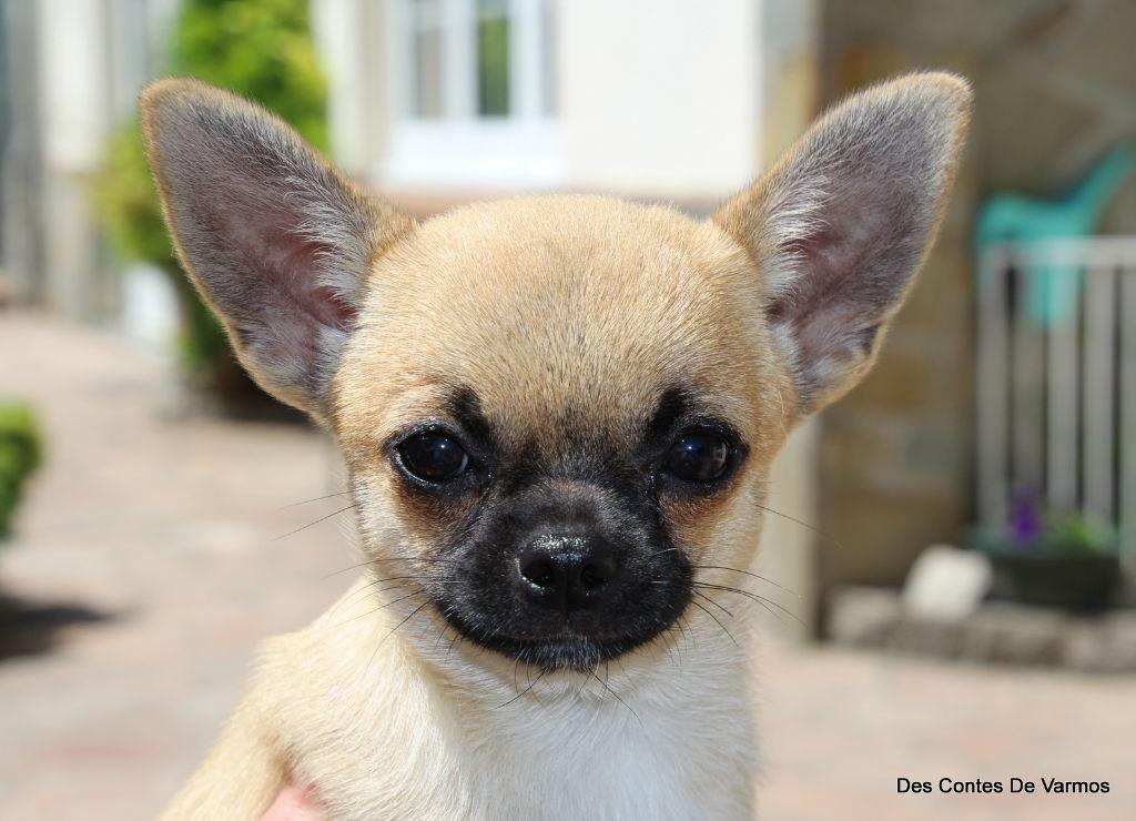 des contes de Varmos - Chiot disponible  - Chihuahua