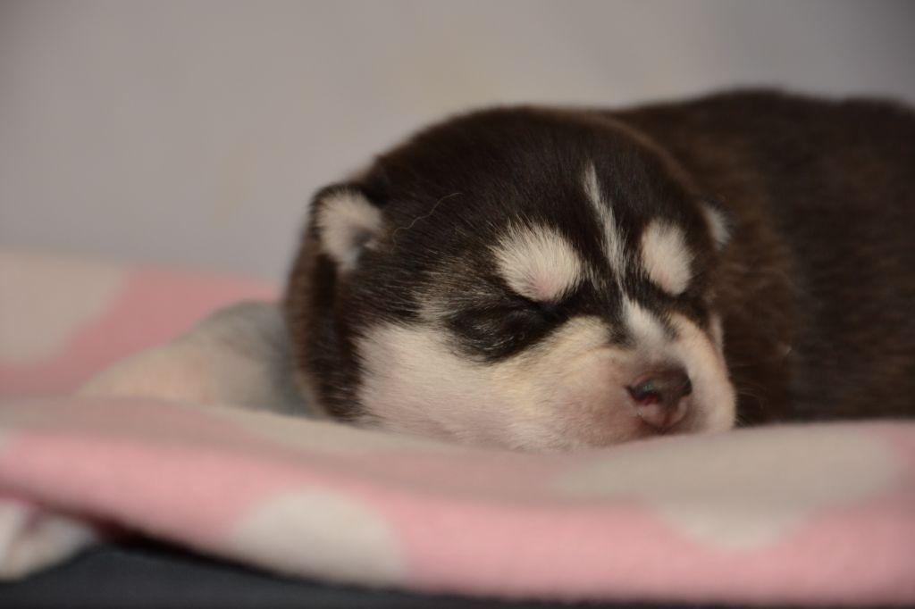 du Domaine D'Eily - Chiot disponible  - Siberian Husky