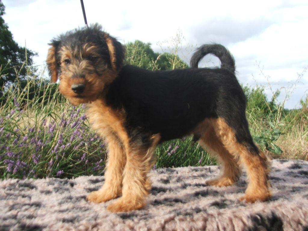 du Dollerbaechlein - Chiot disponible  - Welsh Terrier