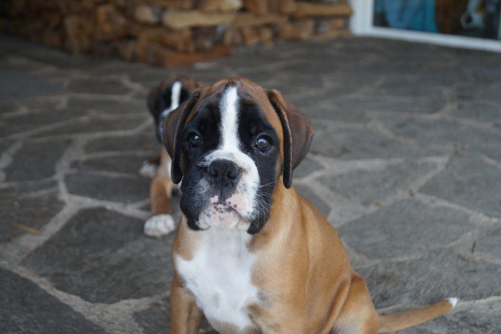 CHIOT - Boxer