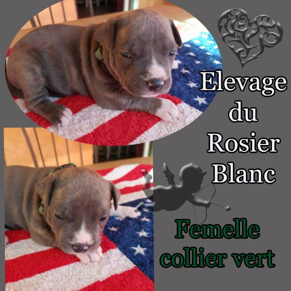du Rosier Blanc - Chiot disponible  - American Staffordshire Terrier