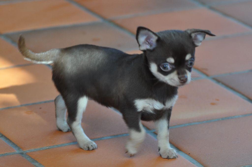 NOISETTE - Chihuahua