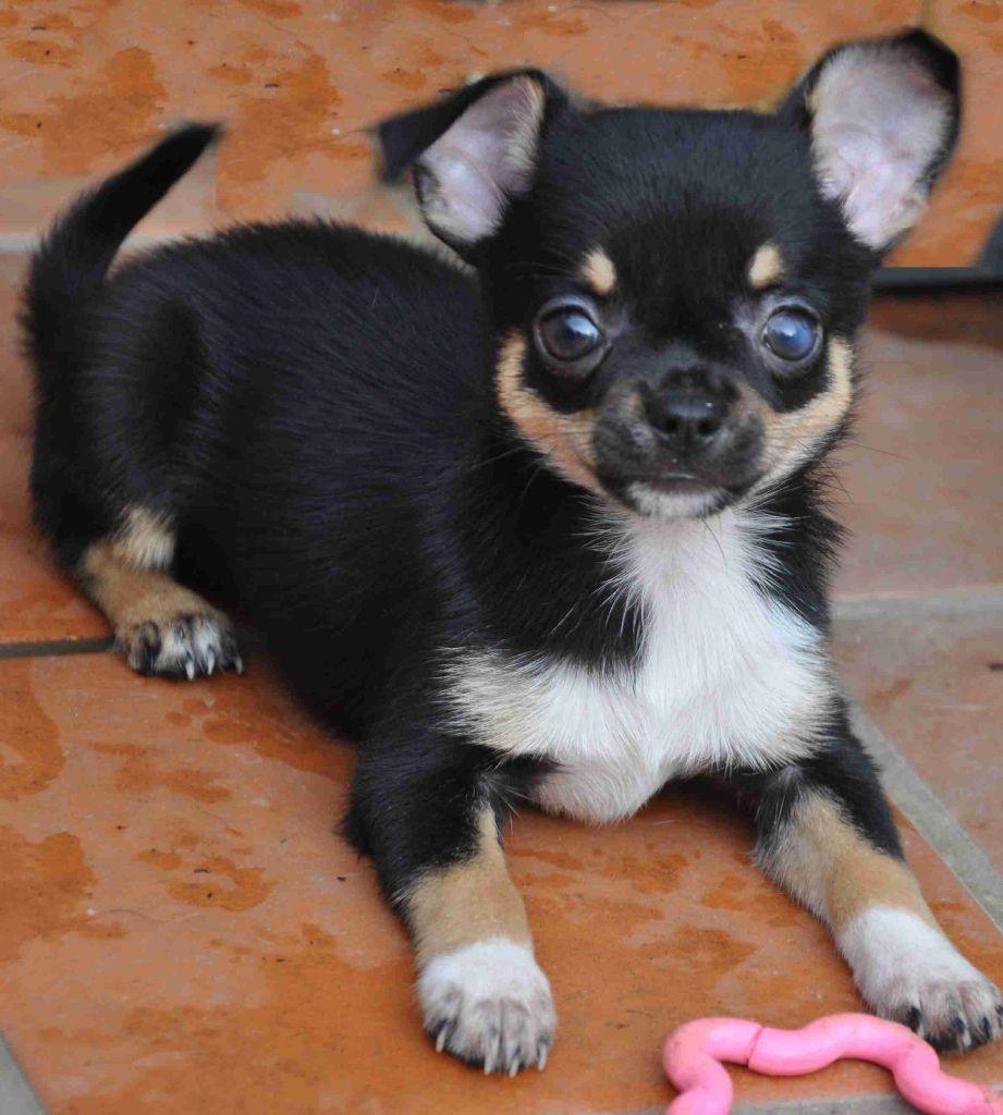 de Ling Dechen - Chiot disponible  - Chihuahua