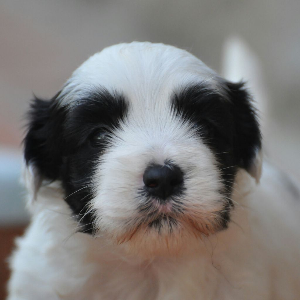 OPALE - Terrier tibetain