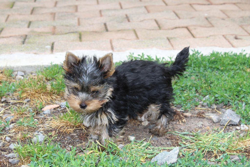 Prince - Yorkshire Terrier