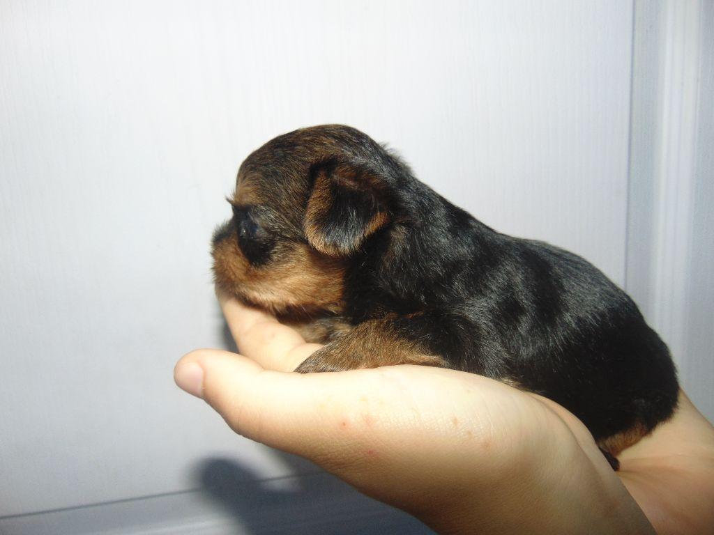 de la Générade - Chiot disponible  - Yorkshire Terrier